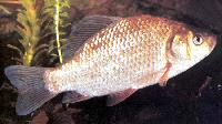 Azjatycki podgatunek Carassius auratus, protoplasta z�otej rybki.