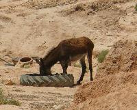 Osio�ki mo�na spotka� zar�wno w miastach jak i przy jaskiniowych domach Berber�w.