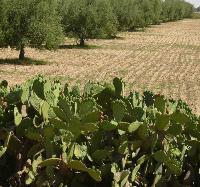 Palisada z opuncji otacza plantacj� oliwek.