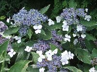 Hortensja ogrodowa Maculata