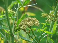 nasiona lubczyka