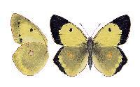 mieszaniec erate i sylwetnika - samica