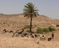 Kozy i owce to najcz�ciej hodowane zwierz�ta w �rodkowej Tunezji, dlatego widok pasterzy strzeg�cych swych stad jest do�� powszechny.